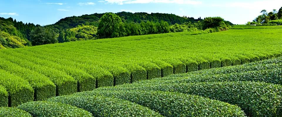 Povijest japanskog čaja - tea time one